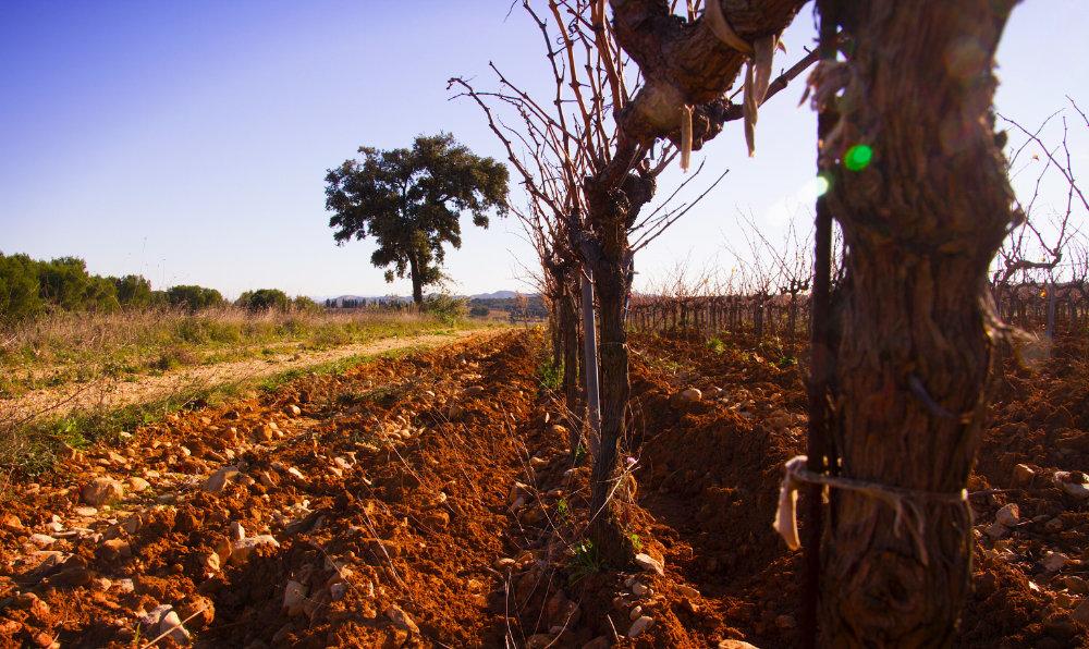 La vigne du domaine la rocaliere